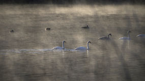 Winter river with birds and fog. Royalty Free Stock Photo