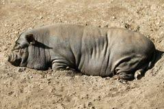 mieć portreta świniowatego odpoczynek Vietnam Zdjęcie Royalty Free