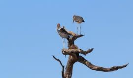 Śmieciarza marabuta bocianów Afryka safari ptasia przyroda i pustkowie Obraz Stock