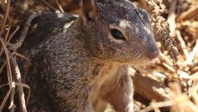 Miedzianowłosa wiewiórka siedzi arachidy i je zdjęcie wideo