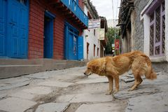 Miedzianowłosi psi spacery zestrzelają ulicę w wiosce Kagbeni, królestwo mustang, Nepal Obrazy Royalty Free
