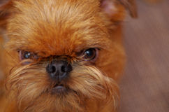Miedzianowłosy brodaty psi zbliżenie Zdjęcia Royalty Free