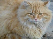 Miedzianowłosy długowłosy kot na miasto ulicie obrazy stock