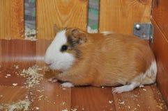 Miedzianowłosy królik doświadczalny Zdjęcie Stock