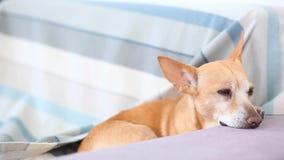 Miedzianowłosy mały pies spada uśpiony na leżance Śliczny pies czekać na właściciela dom i zanudza Zmęczony pies jest resti zbiory