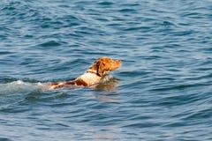 Miedzianowłosy pies pływa w wodzie morskiej zdjęcia stock