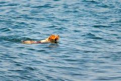 Miedzianowłosy pies pływa w wodzie z kijem w jego zębach zdjęcia stock