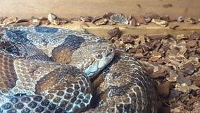 Miedziany kierowniczy wąż lub Agkistrodon contortrix, siedzimy coiled w jego klauzurze Fotografia Stock