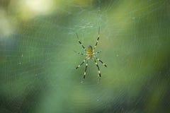 Miejscowego Japonia pająk Zdjęcie Royalty Free