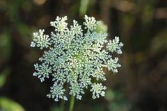 Miejscowego pola świrzepa z wspaniałym kwiatem fotografia royalty free