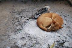 Miejscowy Tajlandia i Azja Południowo-Wschodnia pies Obraz Stock