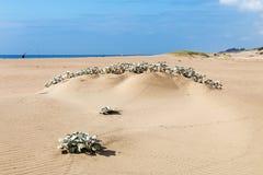 Miejscowy Wydmowy rośliny dorośnięcie w Plażowym piasku Obraz Royalty Free