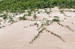Miejscowy Wydmowy rośliny dorośnięcie w Plażowym piasku Zdjęcie Stock