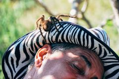 Miejscowy z jego zwierzę domowe tarantuli obławami dla kamery blisko Trinidad, Kuba zdjęcia stock