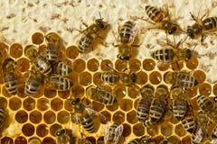 Miel, abeille, abeille, insecte, entomologie, ruche, colonie, apiar images stock
