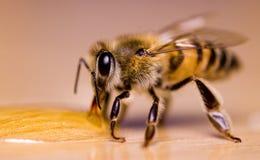 Miel de consumición de la abeja Foto de archivo libre de regalías