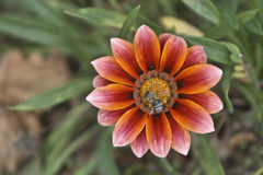 miel de gazania de fleur d'abeille Images libres de droits