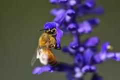 Miel de la abeja Imagenes de archivo