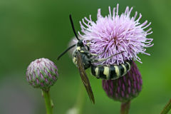 Miel de la búsqueda de la abeja en una flor Fotografía de archivo libre de regalías