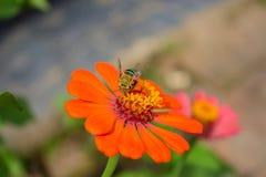 Miel de la necesidad de la abeja Foto de archivo