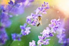 Miel de la selección de la abeja en puesta del sol de la lavanda de las flores Imagen de archivo libre de regalías