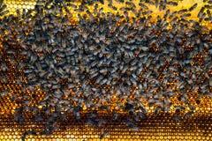Miel de peine de la abeja Foto de archivo libre de regalías