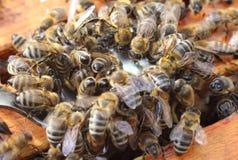 Miel de prise d'abeilles d'une cuillère Photos stock