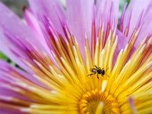 Miel de recherche d'abeille dans le pollen de la floraison waterlily et des feuilles de vert Image stock