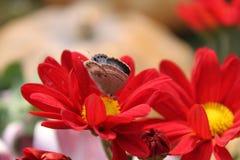 Miel del frunce de la mariposa Foto de archivo