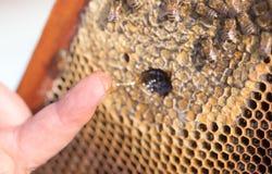 Miel en su finger en el colmenar Fotos de archivo