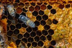 Miel frais dans le peigne images libres de droits