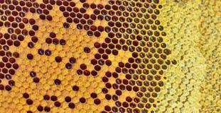 Miel fresca en peine Fotografía de archivo libre de regalías