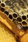 Miel fresca en textura del peine Imagen de archivo