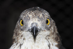 Miel-halcón europeo (Pernis Apivorus) Imagen de archivo libre de regalías