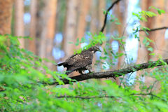 Miel-halcón oriental Fotografía de archivo libre de regalías