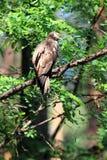 Miel-halcón oriental Imagen de archivo