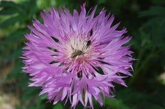 Miel púrpura 2 de la primavera Foto de archivo libre de regalías