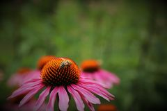 Miel rosada de la flor y de la abeja Fotos de archivo