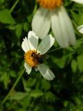 Miel sin aguijón de la abeja, el curador herido natural imagen de archivo