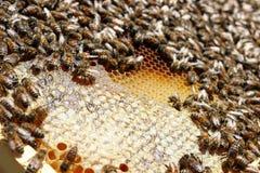 Miele che raccoglie stagione fotografia stock