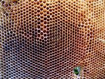 Miele dell'alveare Fotografia Stock