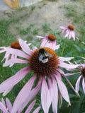 Miele di raccolto dell'ape dal fiore Immagini Stock