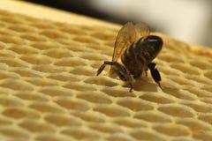 Miele fresco nella struttura del pettine Fotografia Stock