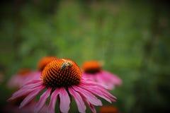 Miele rosa dell'ape e del fiore Fotografie Stock