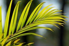 Miembro de la planta de la palma Imagen de archivo