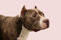 Miembro de los perros de la competencia internacional Imagenes de archivo