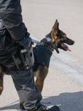 Miembro y perro holandeses de equipo de GOLPE VIOLENTO en la acción Fotos de archivo