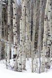 Miembros de árboles en las montañas septentrionales de Utah en el invierno Fotografía de archivo