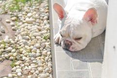 Miente abajo el dogo francés, perro el dormir Imagenes de archivo