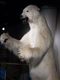 Mientras que oso polar fotos de archivo libres de regalías